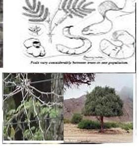 Acacia Albida Francais: Cadde. Wolof: Kad.Haoussa : Gao.Peulh : Tiaski, Tchaiki