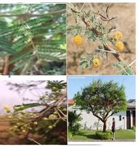 Acacia Seyal Mimosa épineux Sourour Sade Sanige Chama