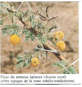 Acacia seyal plante et vertus