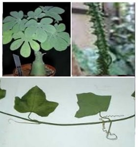 Adenia Lobata Adenia Mannii, Adenia Schweinfurthii, Adenia rumicifolia